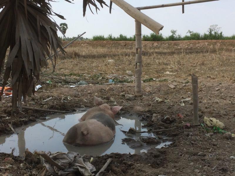 ムンさんちの豚