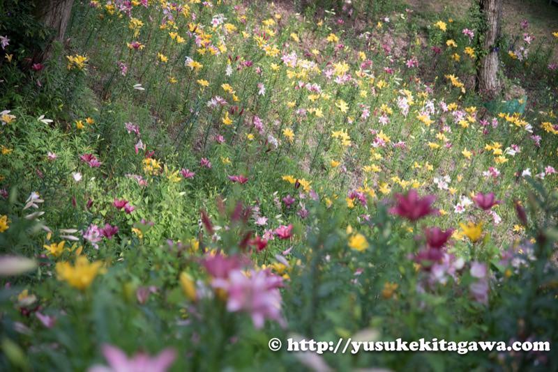 ゆり園の花たち