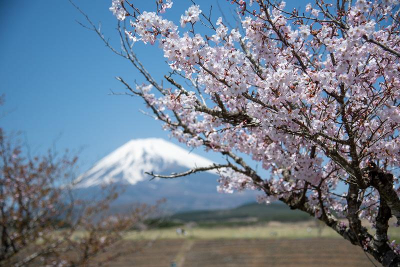 新年度を象徴する桜