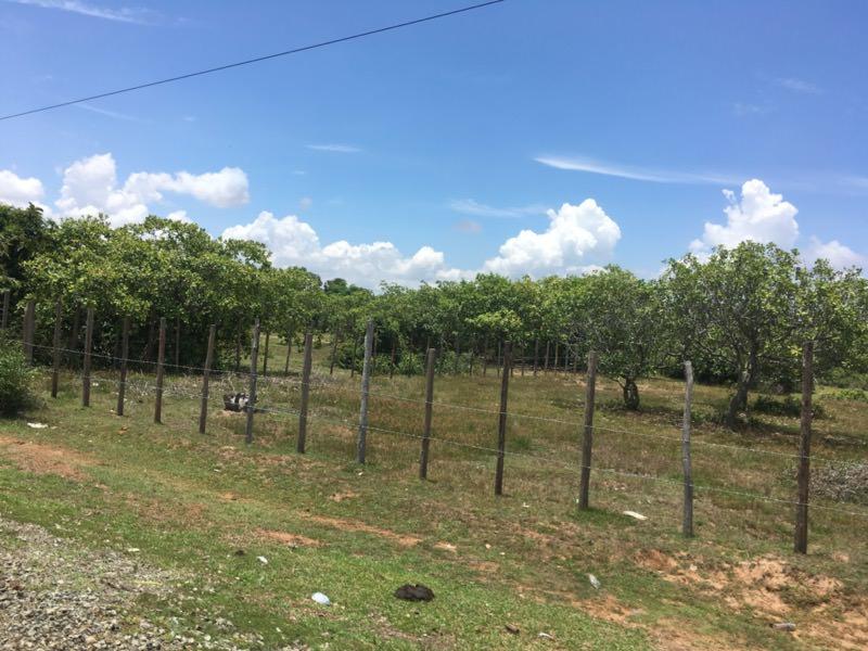カシューナッツ畑