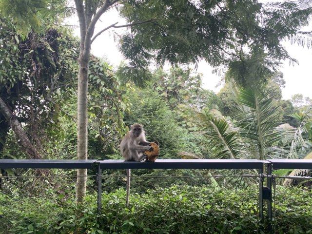 ペナンヒルの猿