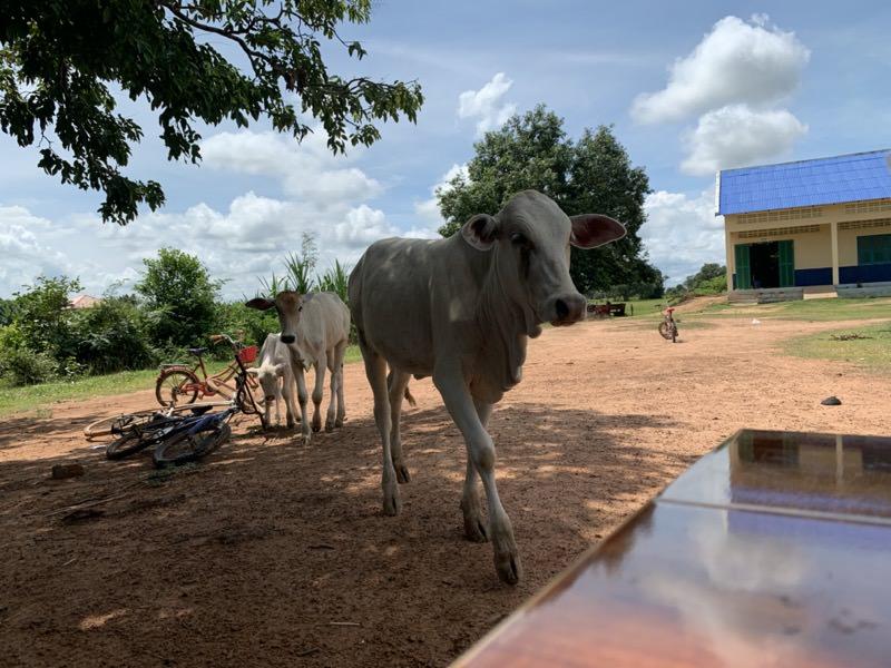 学校にいる牛